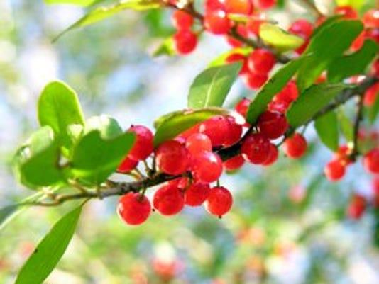 635848797626867748-yaupon-berries.jpg