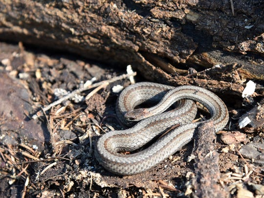 A northern redbelly snake lies curled atop stacked firewood.