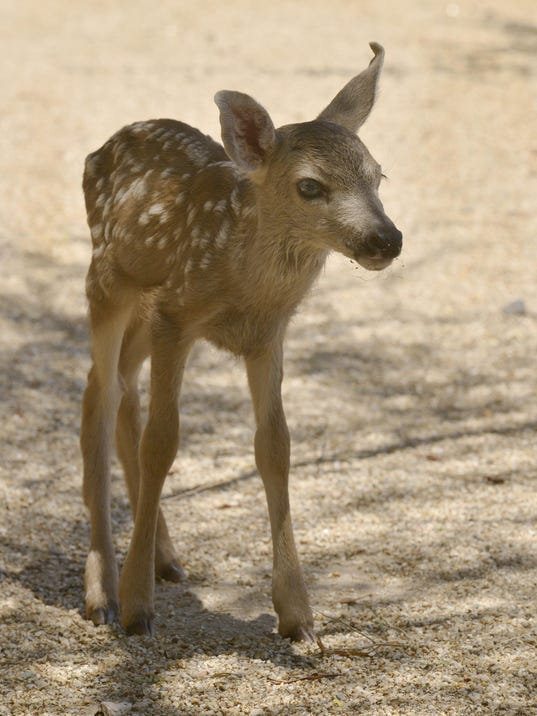 ODD Fawn Can't Live In Wild