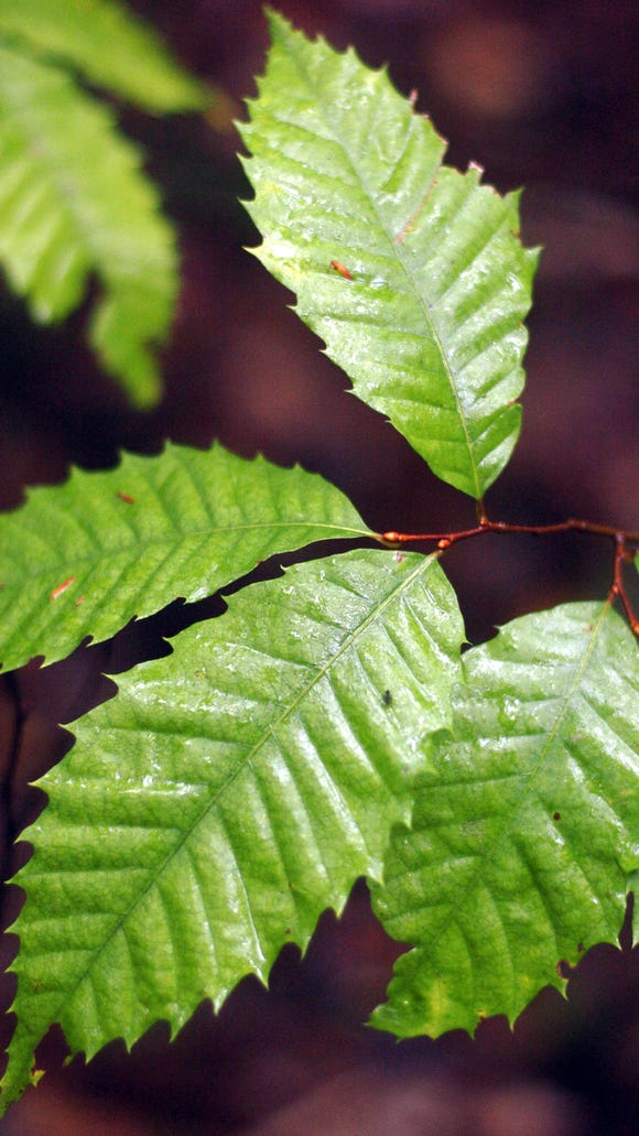 American chestnut tree leaves. The American Chestnut