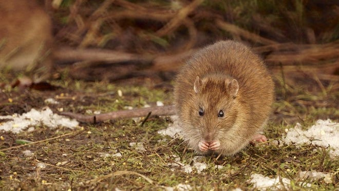 A rat sits on the ground near a pond in this 2013 photo.