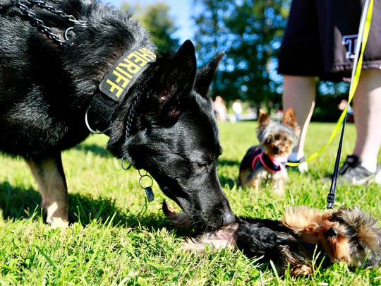 Capt. K9 Dargo sniffs nine month old Boomer, right, as Friends of the York County Sheriff's Office K9 Program hosts the first annual K9 Unit 5k Fun Run / Dog Walk at John Rudy County Park in East Manchester Township, Saturday, Sept. 23, 2017. Dawn J. Sagert photo