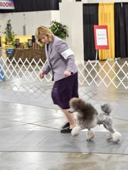 Tyler, a miniature poodle, runs through his paces as