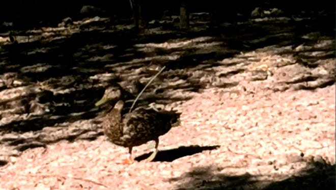 A Mexican duck walks with a 12-inch antenna sticking out of its back.