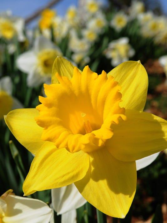 sby daffodil