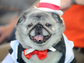Grovie, a pug in a tuxedo, awaits the start of The World's Ugliest Dog Competition in Petaluma, California on June 20, 2014.