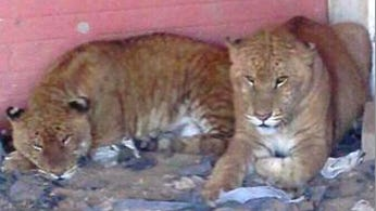 Tigers, a lion and mountain lions were seized Tuesday in a home near Nuevo Casas Grandes, Chihuahua.