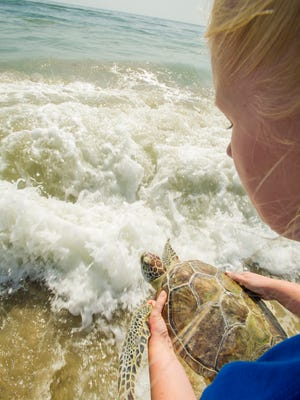 Two green sea turtles were returned to Sebastian Inlet State Park on Wednesday morning.