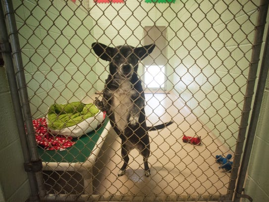 A chihuahua dachshund mix  named Onyx is shown at the