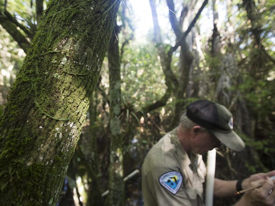 Mike Owen, park biologist for the Fakahatchee Strand writes updated information on a previously documented ghost orchid. The root system can be seen on the moss covered tree on the left. The orchid was not in bloom.