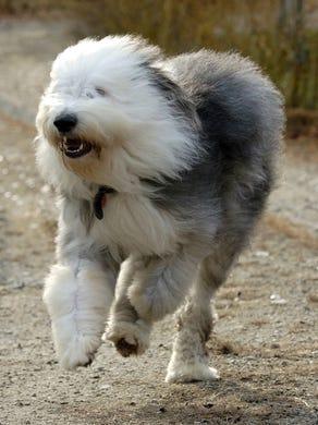 70. Old English sheepdogs •  2016 rank: 75 • 2007 rank: