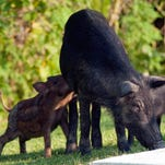 A family of feral pigs invade the Palmetto State Park's camp grounds in Abbeyville, La.