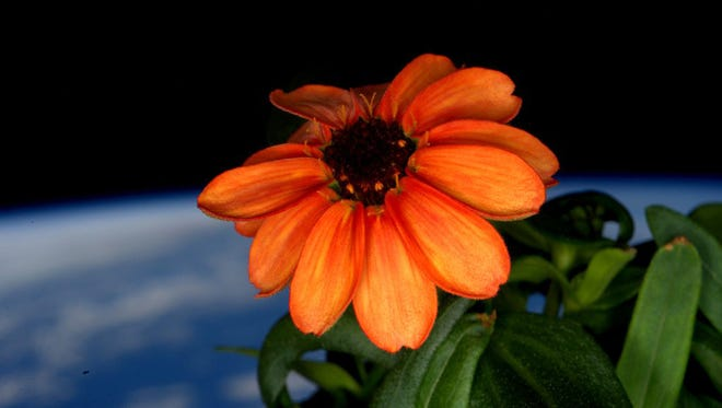 This image made available by NASA via Twitter posted on Jan. 17, 2016 by space station commander Scott Kelly, shows a zinnia flower out in the sun at the International Space Station. Last month, Kelly had to fight off mold that threatened to kill all the flowers in the space station's mini-greenhouse.