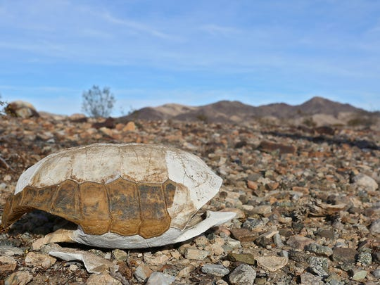 The shell of an threatened desert tortoise that had