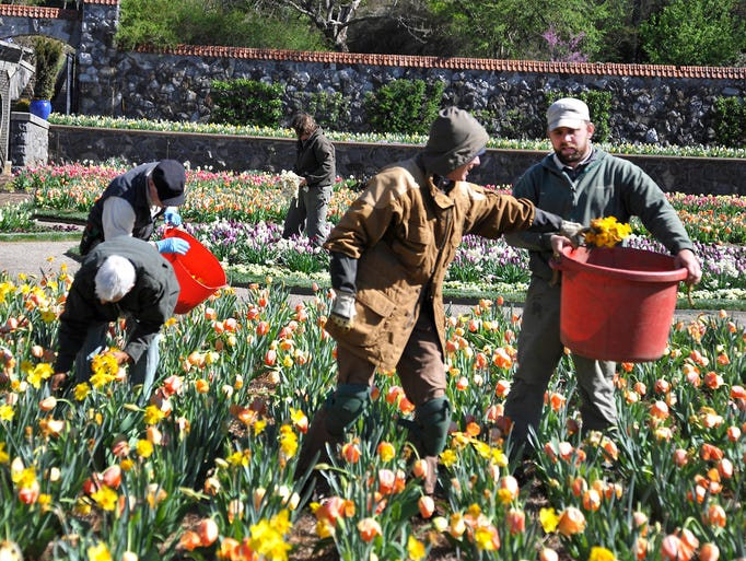 Biltmore Estate gardeners remove past their peak and frost damaged daffodills and tulips from the Walled Garden beside the Biltmore House. Tuesday nights freeze damaged some flowers but many will recover and reopen as temperatures warm.  04/16/2014