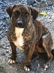 Ringtail is a 2-year-old, female mixed-breed dog who weighs about 24 pounds. She has a short brindle coat and is learning how to walk on a leash. She'd best with another friendly dog. No cats. Adoption fee is $125, which includes spay, microchip, shots, kennel cough, rabies, heart worm tested negative also has had dental work completed. Visit Tails of Rescue Adoption Center, 981 Lake Blvd., Redding. Call 448-7444. Go to http://tailsofrescue.org.