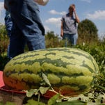 For this Iowa competitive grower, 100-pound watermelon disappoints