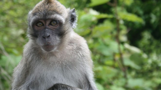 The long-tailed macaque, a resident of Hendry County