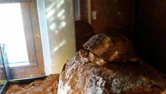 Homie, the Leppo family's Eastern box turtle.