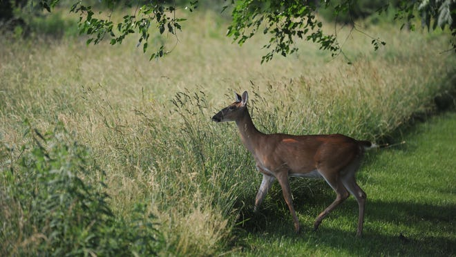A deer lingers on the edge of a field.