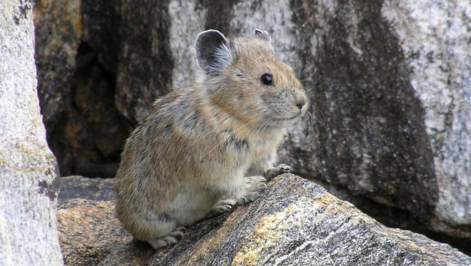 This Aug. 17, 2005 file photo provided by the US Geological Survey/Princeton University shows an American pika. Federal officials have rejected a petition to give greater protections to the rabbit-like American pika, which researchers say is vanishing from mountainous areas of the West due to climate change.