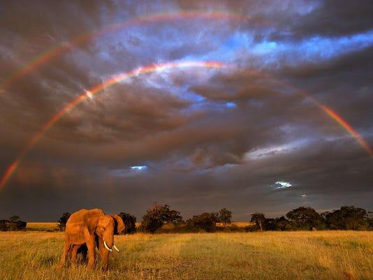 African Elephant (Loxodonta africana) in front of double rainbow , Masai Mara, Kenya
