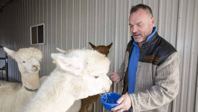 Kevin Stoer, owner of the LondonDairy Alpacas Ranch, feeds his alpacas Wednesday, Dec. 7, in Two Rivers.