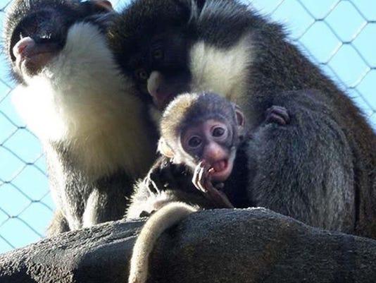 636287277055620180-0227-malo-baby-monkey.JPG