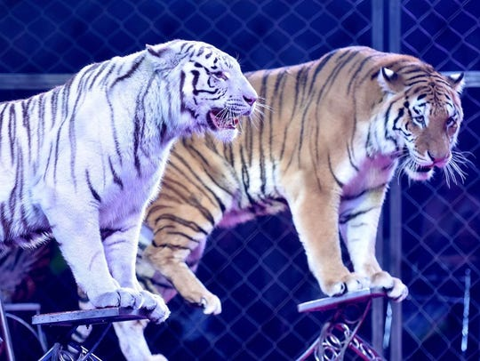 Tigers perform as part of the Shrine Circus coming