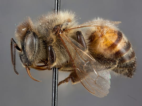 A camera in the New Mexico State University Arthropod Museum is able to take close-up and nearly 3-D images of specimens, such as this honey bee.