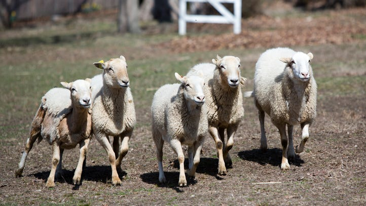 The Sheep-to-Shawl event at Philipsburg Manor in Sleepy