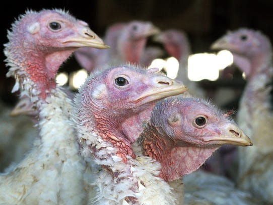 In this Nov. 2, 2005, photo, turkeys are pictured at