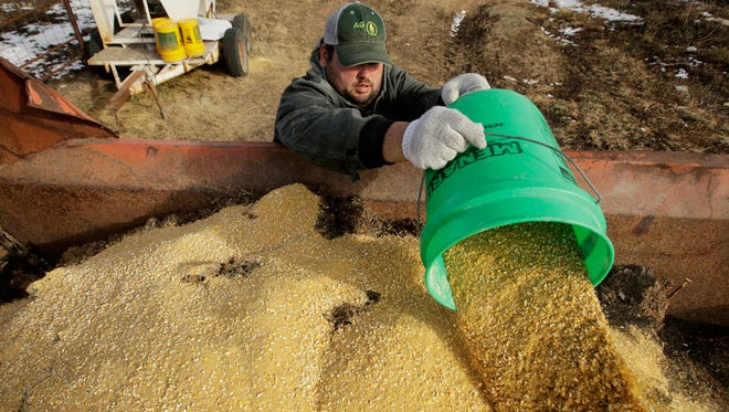 In this photo taken Wednesday, Dec. 21, 2016, Matt Ubell adds grain to feed as she prepares to feed cattle on his farm near Wheaton, Kan. Ubell is one of many farmers taking out government agriculture loans to make ends meet in a turbulent farm economy.
