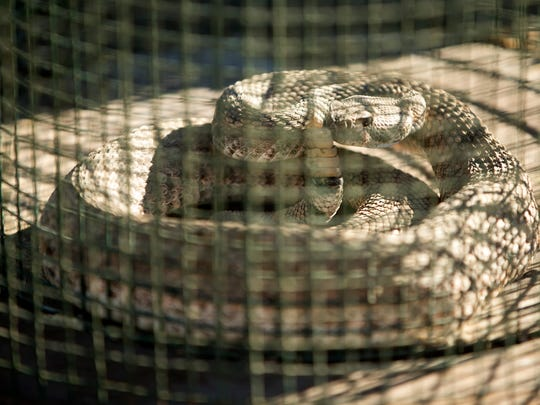 A western diamondback rattlesnake looks on from a cage