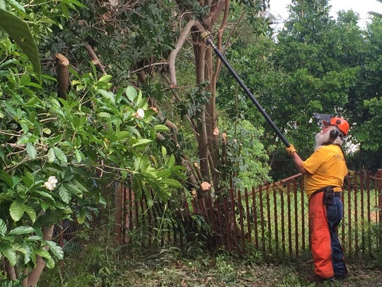 Volunteer Larry Porter of the Baptist Disaster Relief team uses a pole saw to take down an uprooted tree in Cocoa.