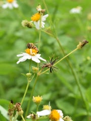 A bee rests on the flower of a Bidens alba, or Spanish