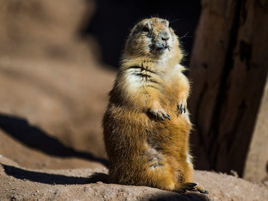 A black-tailed prairie dog is pictured at the Phoenix Zoo on Jan. 26, 2017.