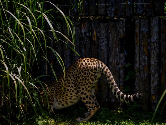 Donni plays in the yard where the Cheetah Encounter