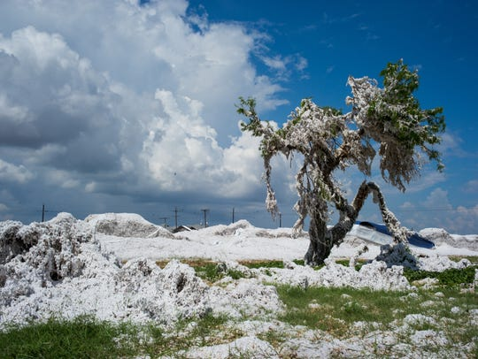 Cotton lines a tree in a field of damaged cotton in