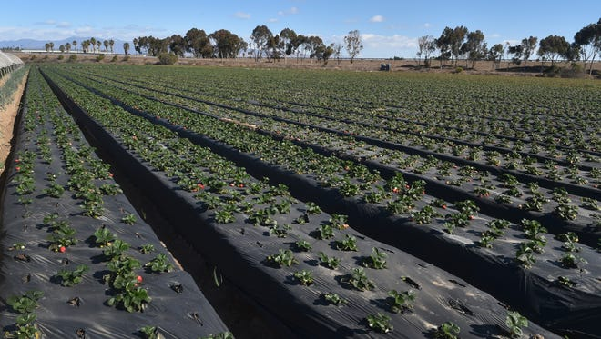 Strawberries grow in a field at Tamai Family Farms in Oxnard in this file photo. STAR FILE PHOTO