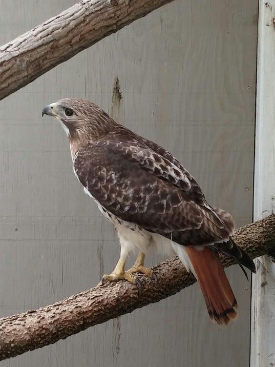 red-tail-hawk-6.jpg