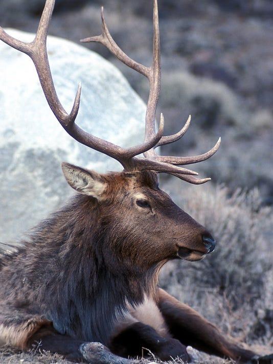 bull-elk-resting