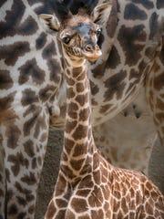 A female Masai giraffe calf was born at the Los Angeles