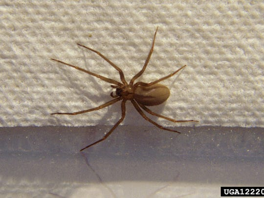 Brown recluse spiders (Loxosceles reclusa) isn't native