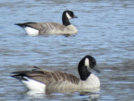 Cackling goose is shown in the background with a Canada goose in the foreground for size comparison.