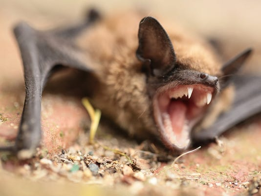 All bats have rabies