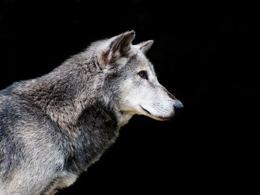 congress gray wolves still endangered in michigan