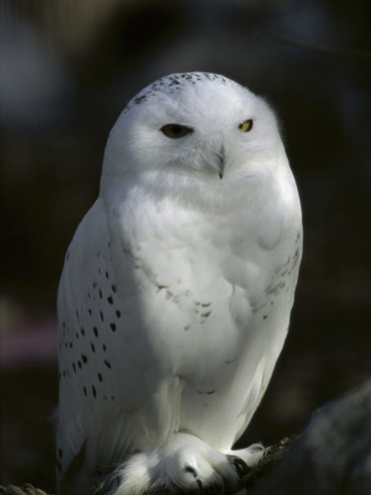 635888936204404780-snowy-owl.jpg