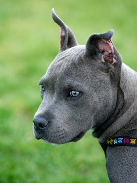 pitbullpuppy.jpg