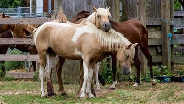 Tidewater Princess, a Chincoteague Pony put down on Wednesday, Jan. 11.